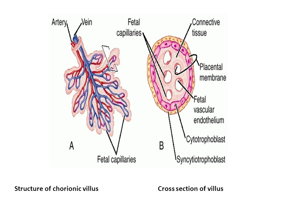 Structure of chorionic villus