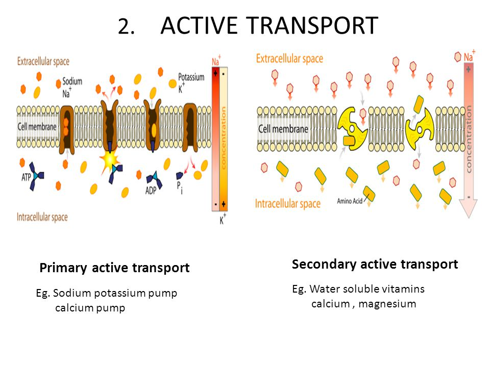 2. ACTIVE TRANSPORT Secondary active transport