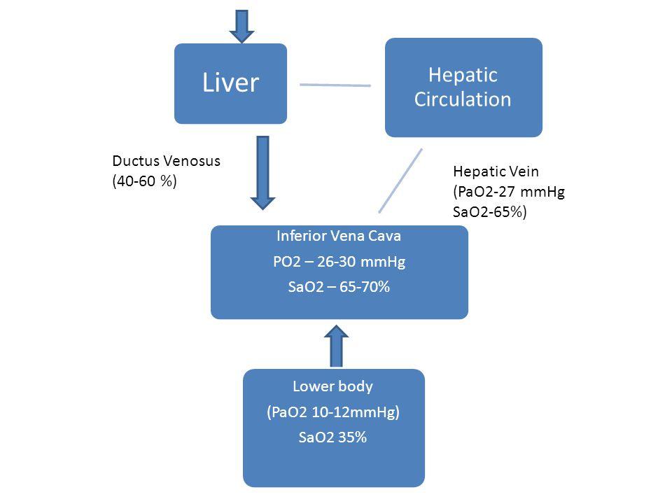 Liver Hepatic Circulation Inferior Vena Cava PO2 – 26-30 mmHg