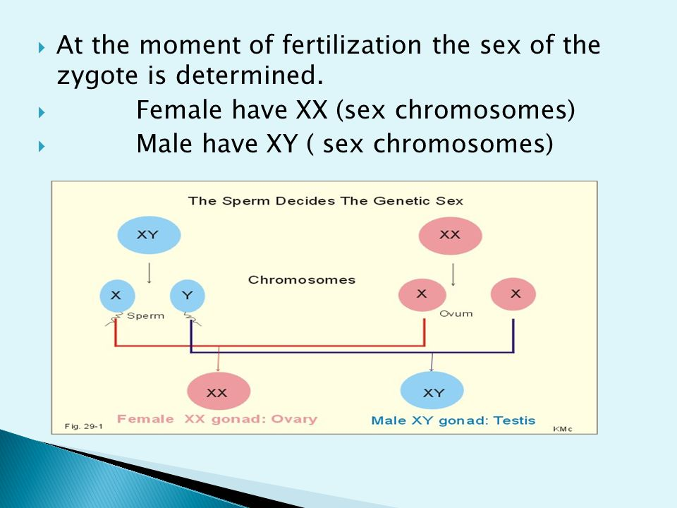 At the moment of fertilization the sex of the zygote is determined.