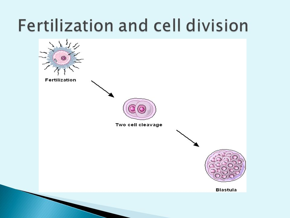 Fertilization and cell division