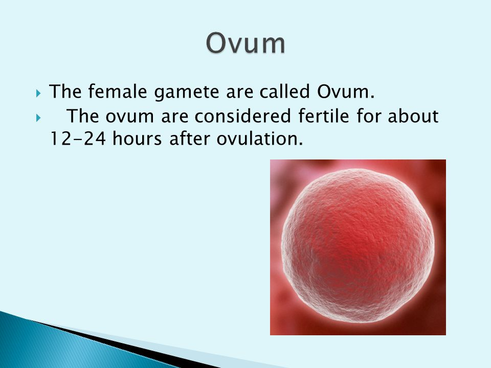 Ovum The female gamete are called Ovum.