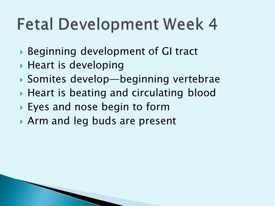 Fetal Development Week 4