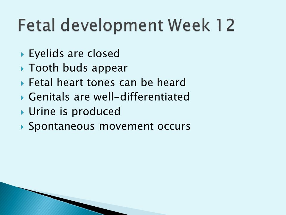 Fetal development Week 12