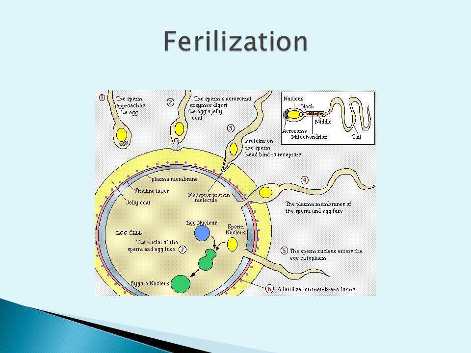Ferilization