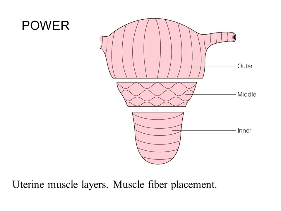 POWER Uterine muscle layers. Muscle fiber placement.