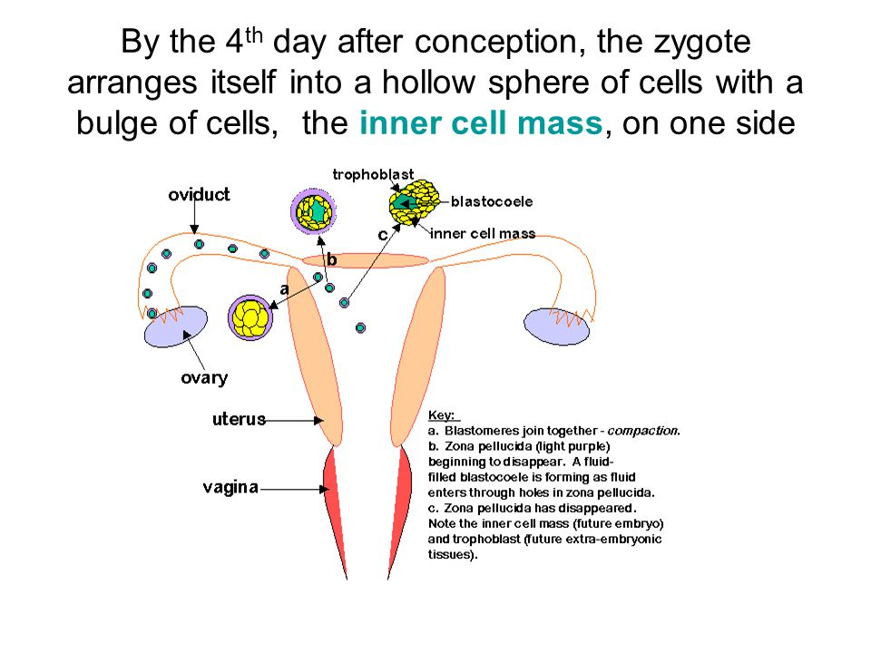 By the 4th day after conception, the zygote arranges itself into a hollow sphere of cells with a bulge of cells, the inner cell mass, on one side