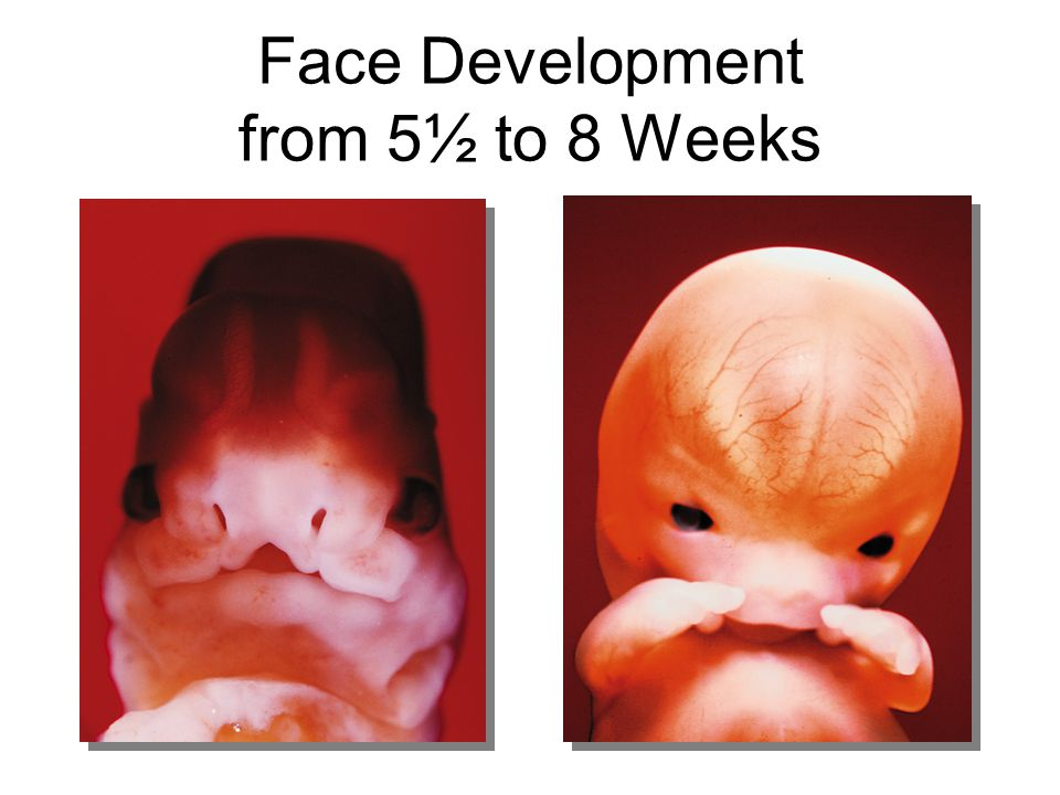 Face Development from 5½ to 8 Weeks