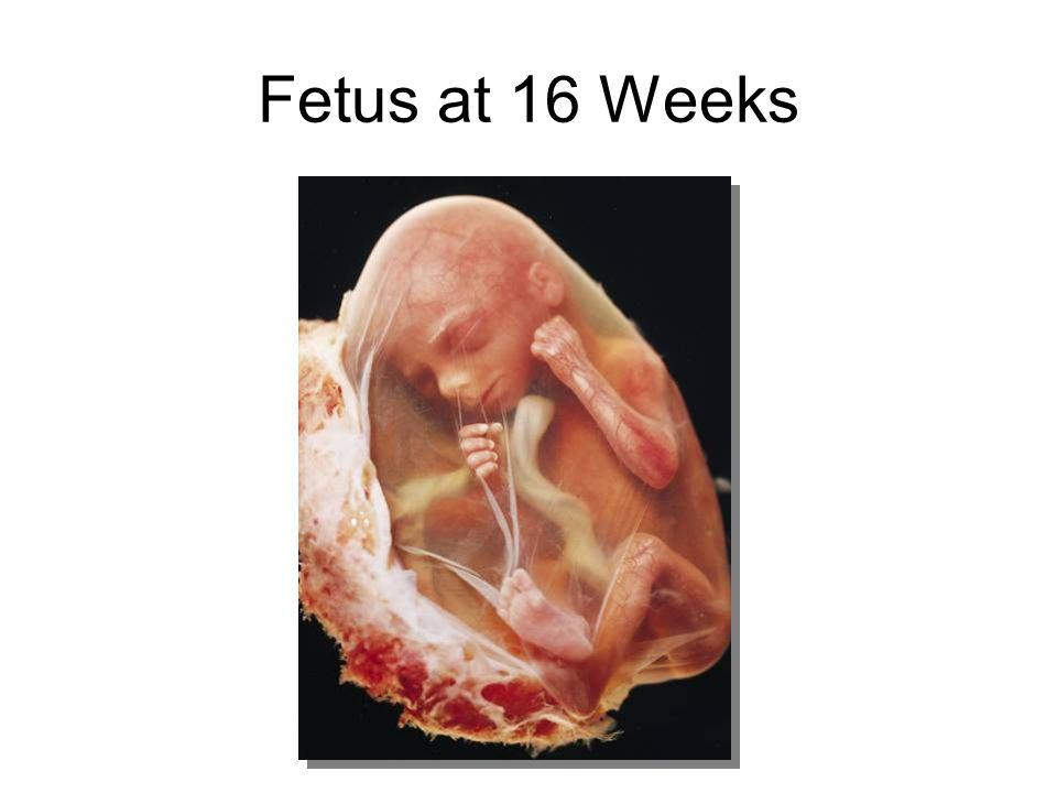 Fetus at 16 Weeks