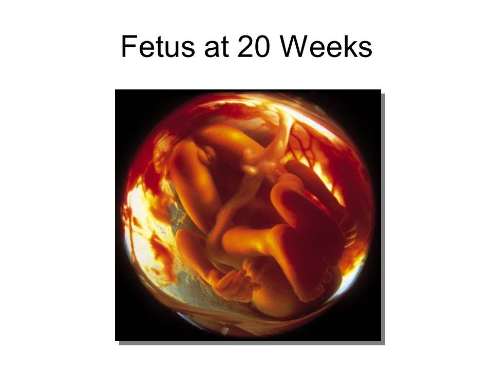 Fetus at 20 Weeks