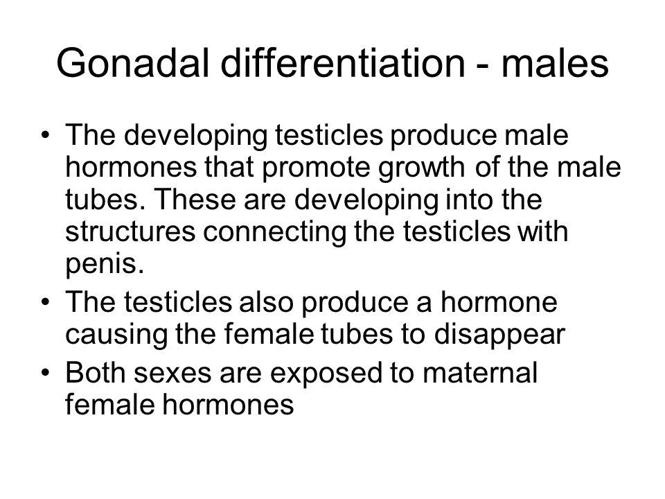 Gonadal differentiation - males