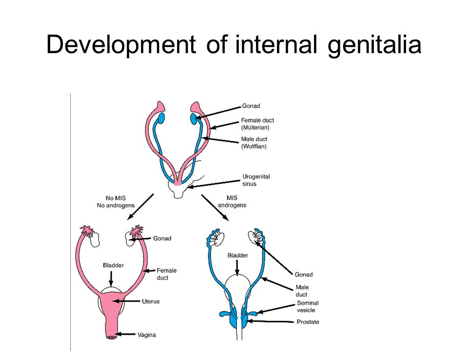Development of internal genitalia