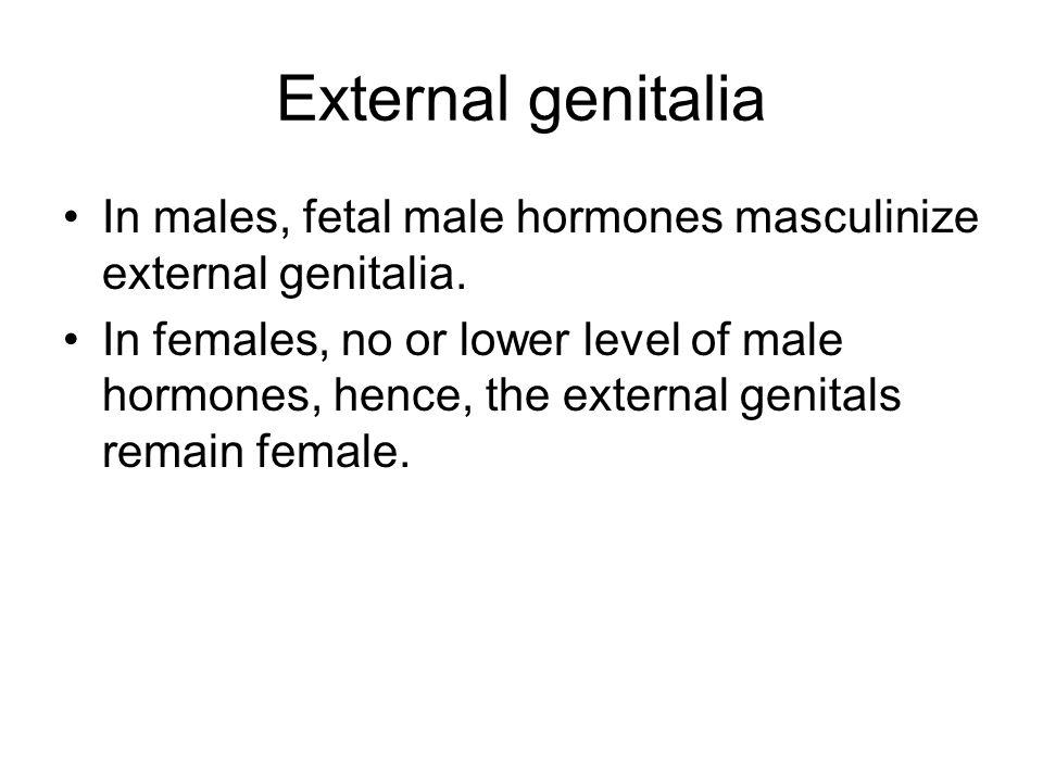 External genitalia In males, fetal male hormones masculinize external genitalia.