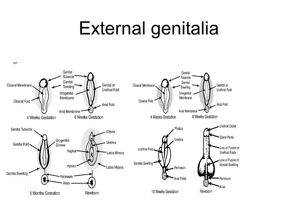 External genitalia