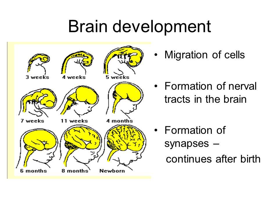 Brain development Migration of cells