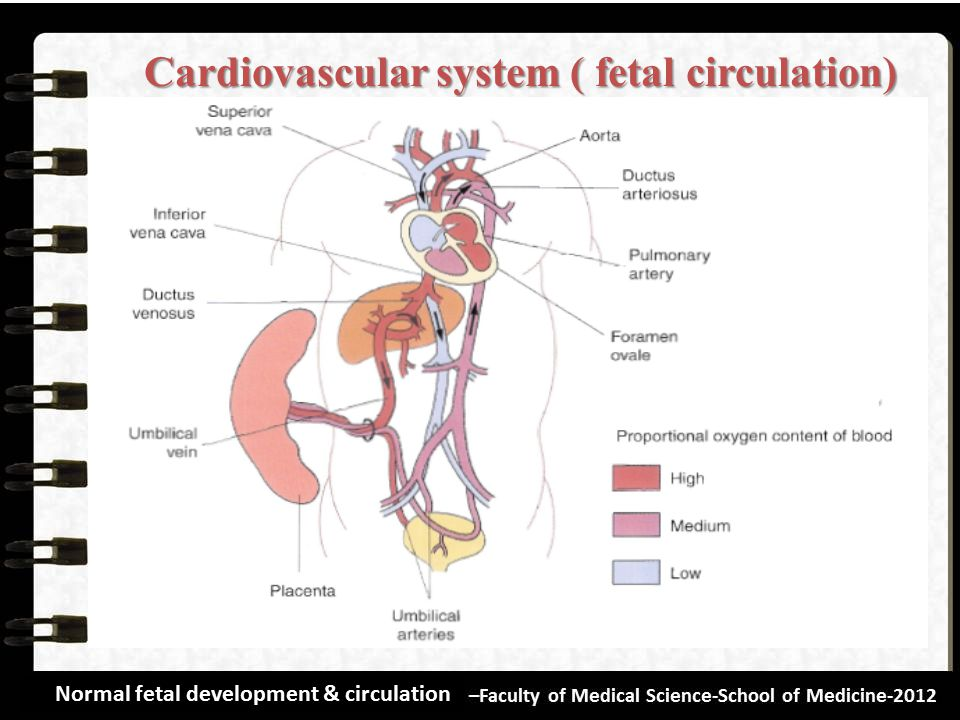 Cardiovascular system ( fetal circulation)