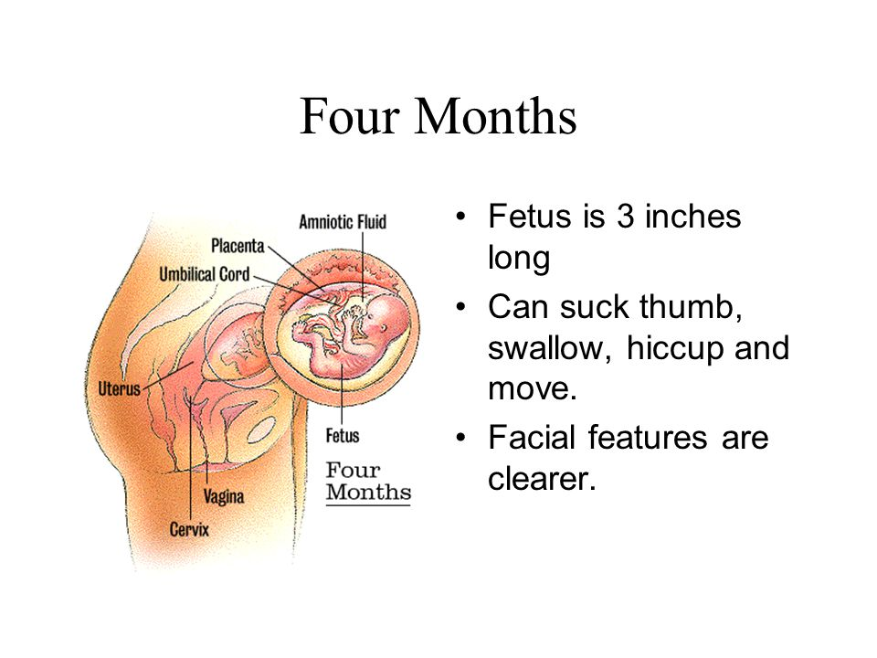 Four Months Fetus is 3 inches long