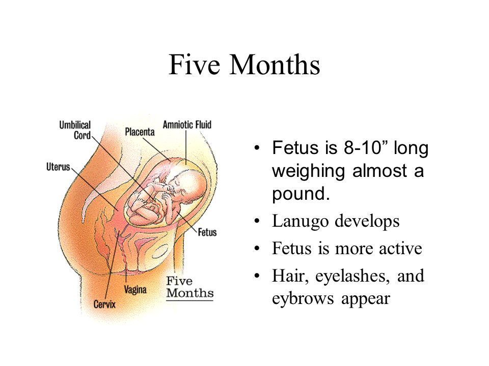 Five Months Fetus is 8-10 long weighing almost a pound.