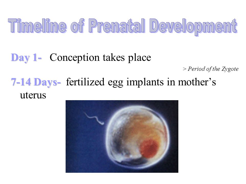 Timeline of Prenatal Development
