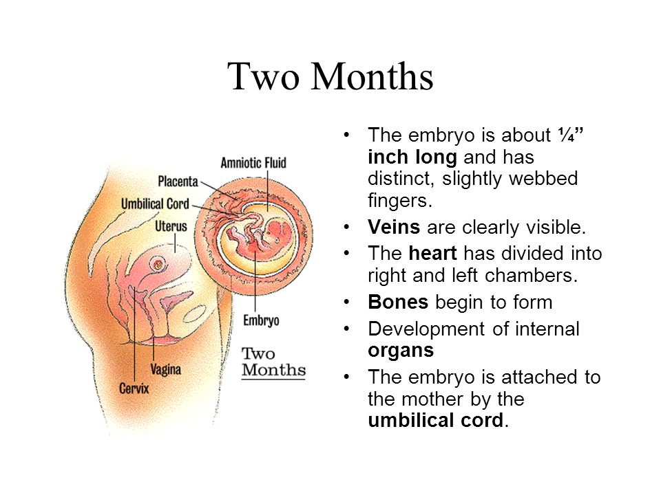 Two Months The embryo is about ¼ inch long and has distinct, slightly webbed fingers. Veins are clearly visible.