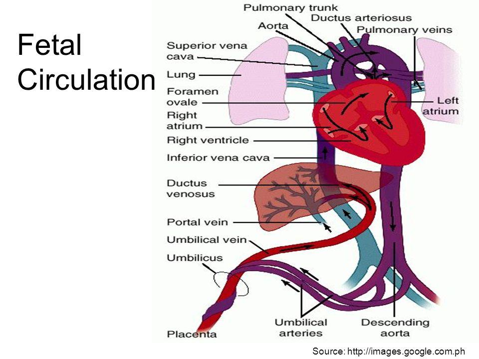 Fetal Circulation Source: http://images.google.com.ph