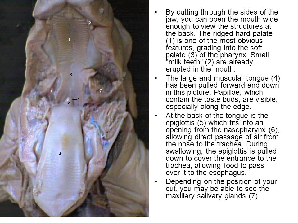By cutting through the sides of the jaw, you can open the mouth wide enough to view the structures at the back. The ridged hard palate (1) is one of the most obvious features, grading into the soft palate (3) of the pharynx. Small milk teeth (2) are already erupted in the mouth.