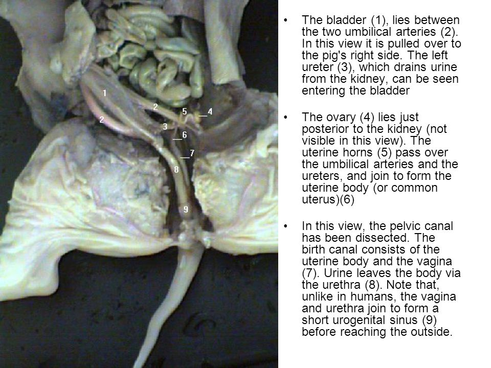 The bladder (1), lies between the two umbilical arteries (2)