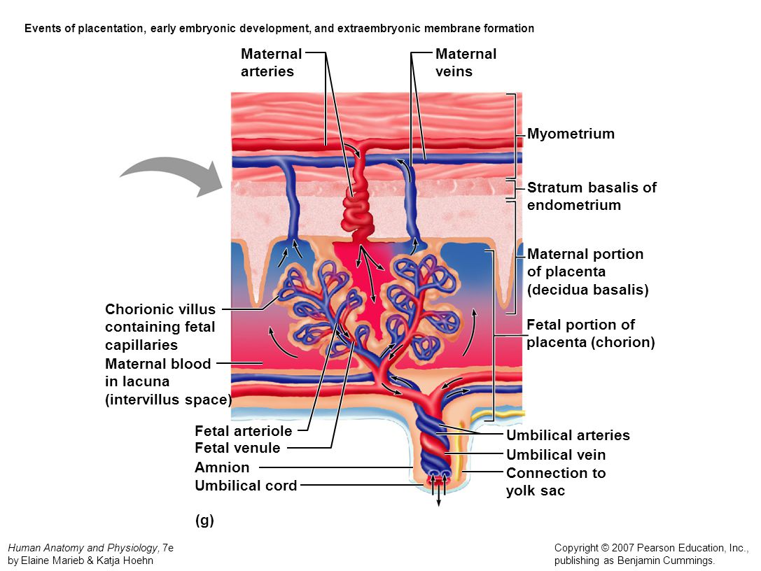 Maternal arteries Maternal veins Myometrium Stratum basalis of