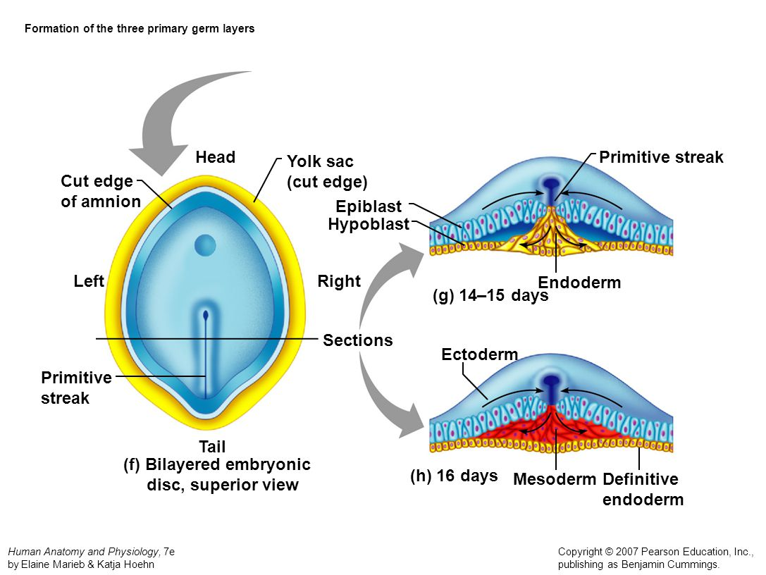 Formation of the three primary germ layers