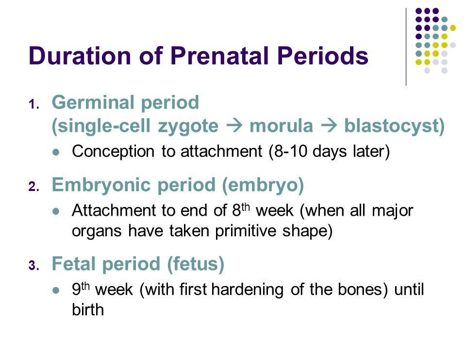 Duration of Prenatal Periods