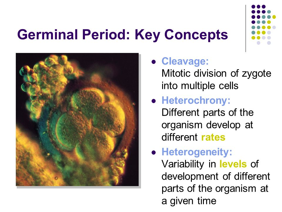 Germinal Period: Key Concepts