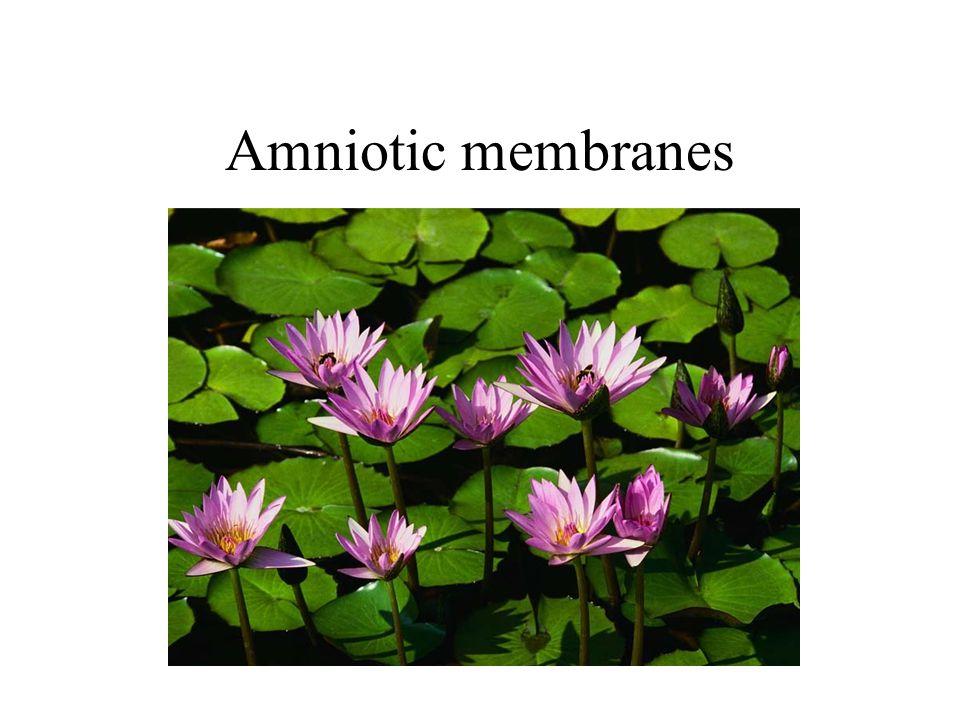 Amniotic membranes