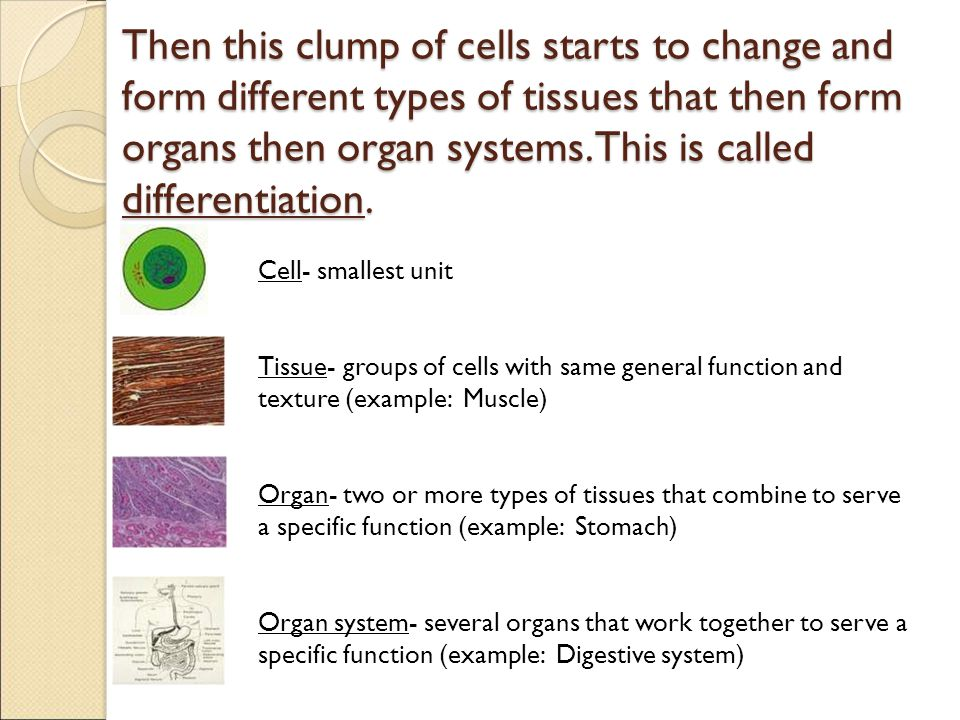 Then this clump of cells starts to change and form different types of tissues that then form organs then organ systems. This is called differentiation.