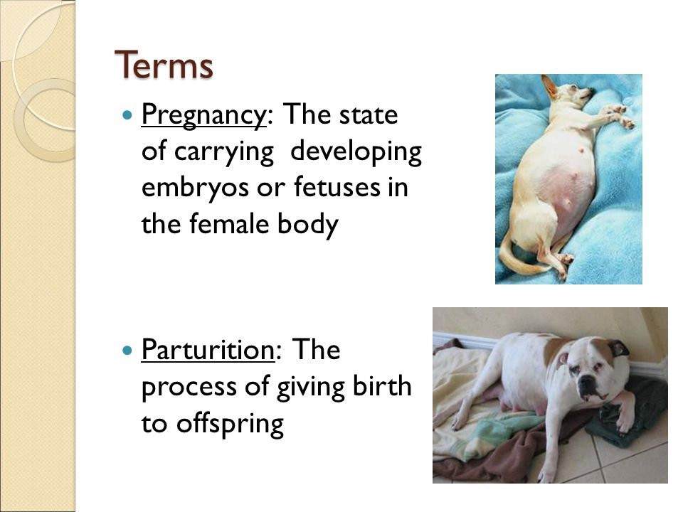 Terms Pregnancy: The state of carrying developing embryos or fetuses in the female body.