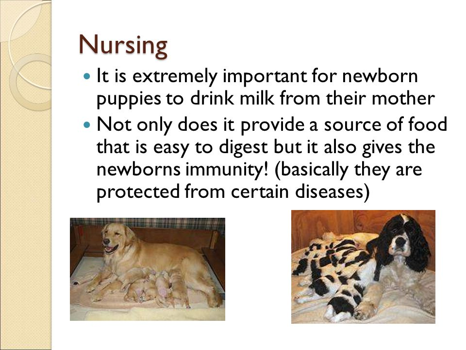 Nursing It is extremely important for newborn puppies to drink milk from their mother.