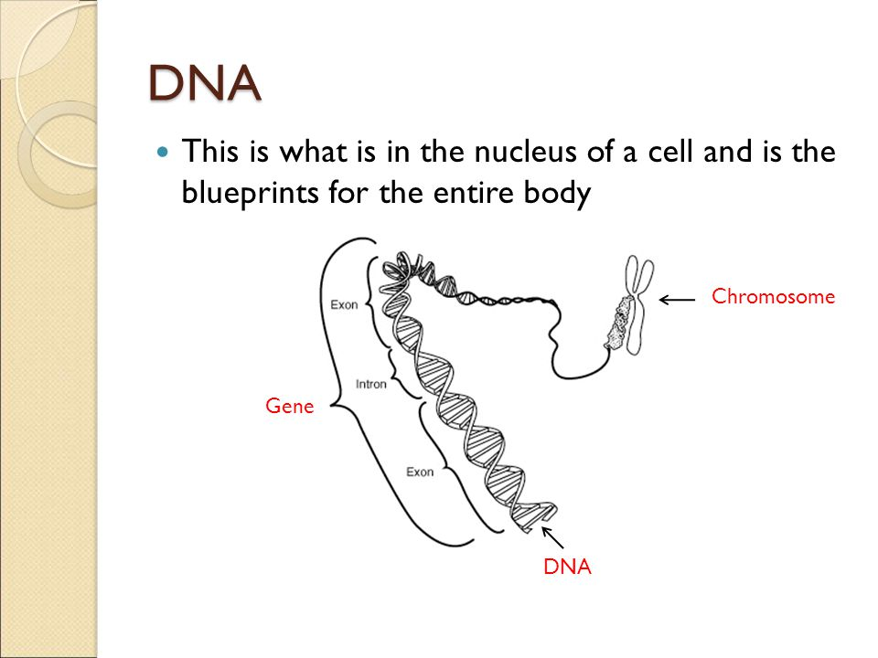 DNA This is what is in the nucleus of a cell and is the blueprints for the entire body. Chromosome.