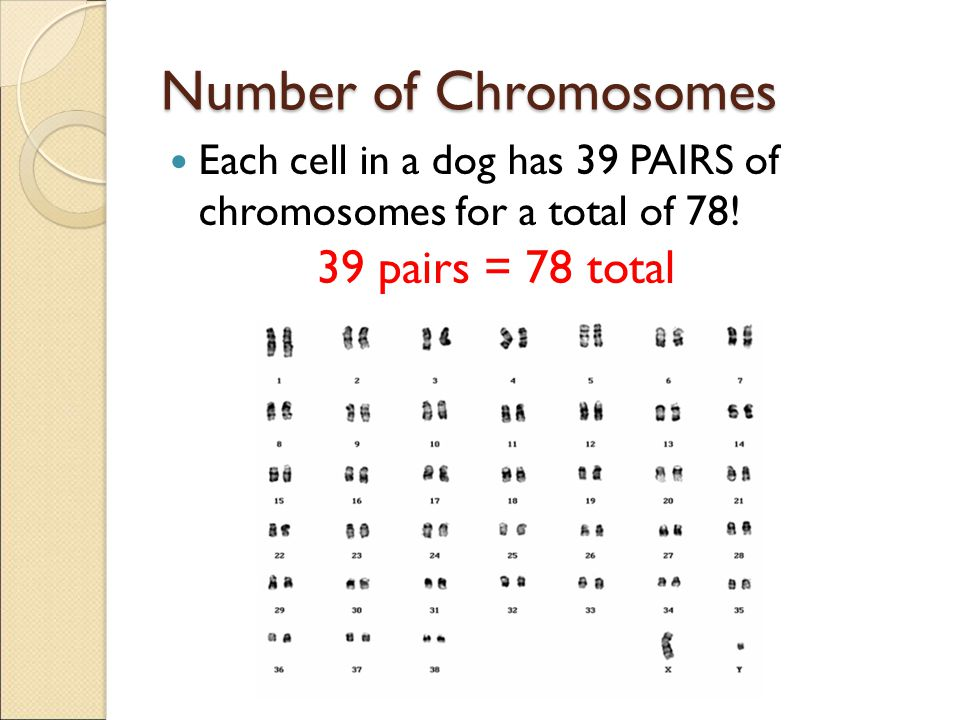 Number of Chromosomes 39 pairs = 78 total
