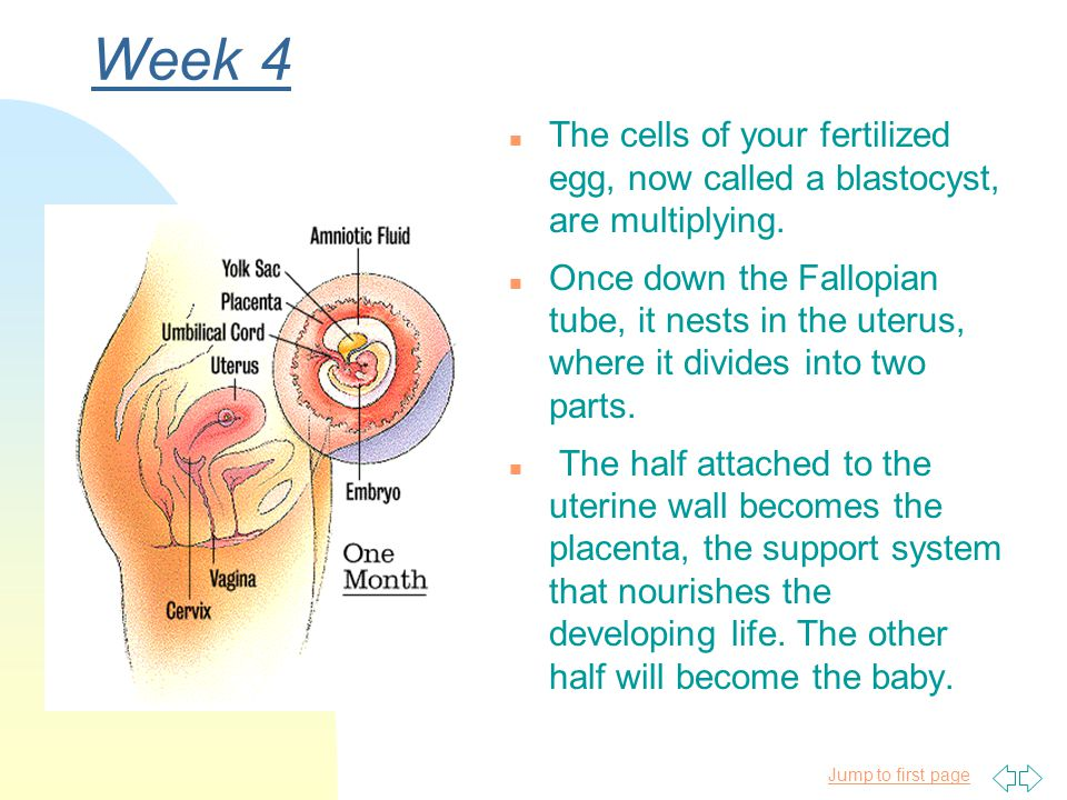 Week 4 The cells of your fertilized egg, now called a blastocyst, are multiplying.