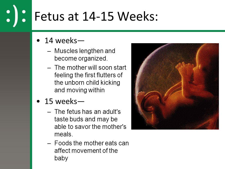 Fetus at 14-15 Weeks: 14 weeks— 15 weeks—