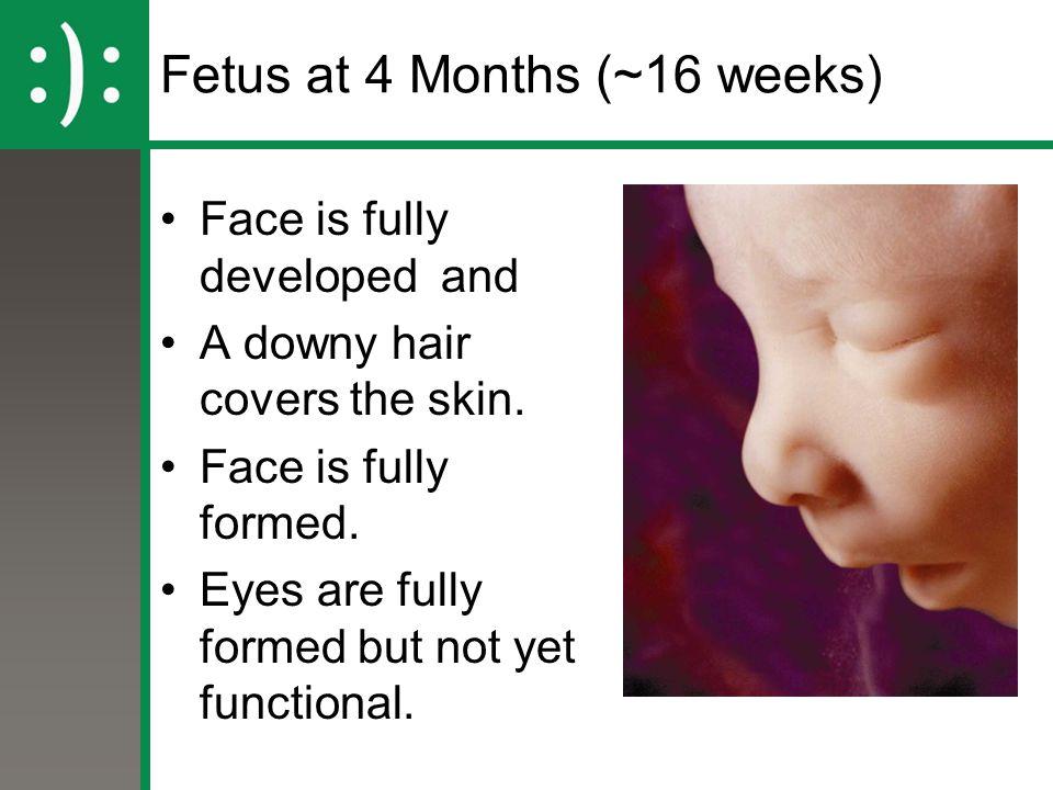 Fetus at 4 Months (~16 weeks)