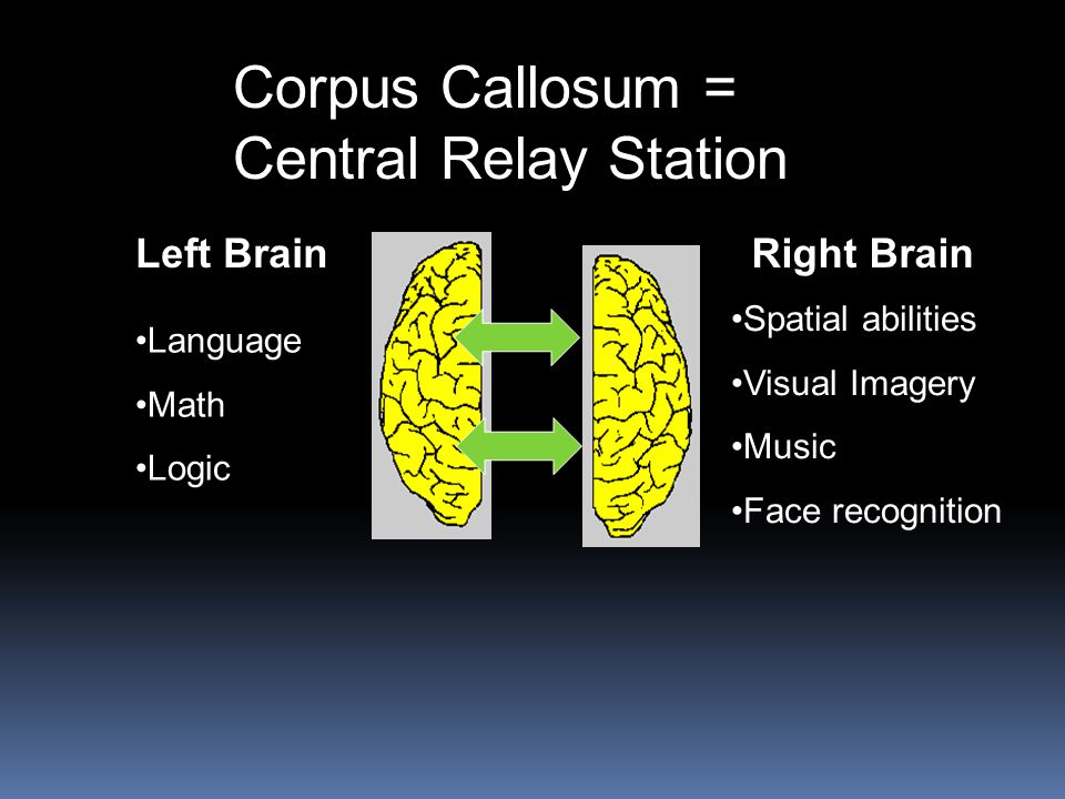 Corpus Callosum = Central Relay Station Left Brain Right Brain