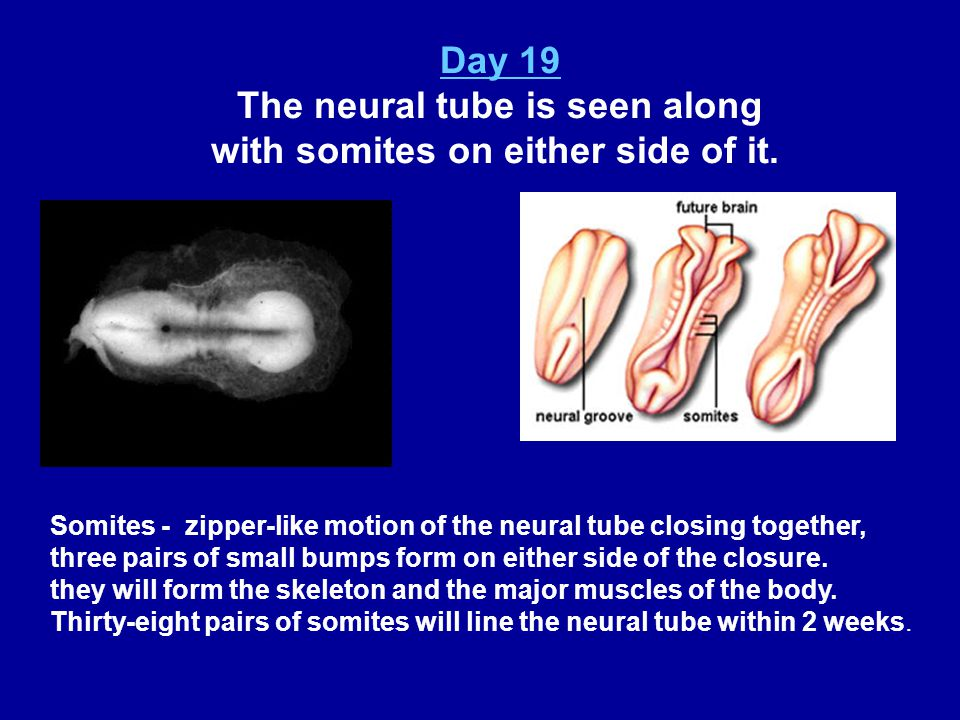 The neural tube is seen along with somites on either side of it.