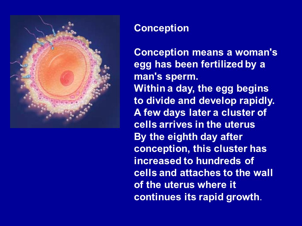 Conception means a woman s egg has been fertilized by a man s sperm.