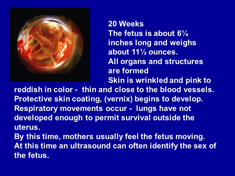 20 Weeks The fetus is about 6¼ inches long and weighs about 11½ ounces. All organs and structures are formed.