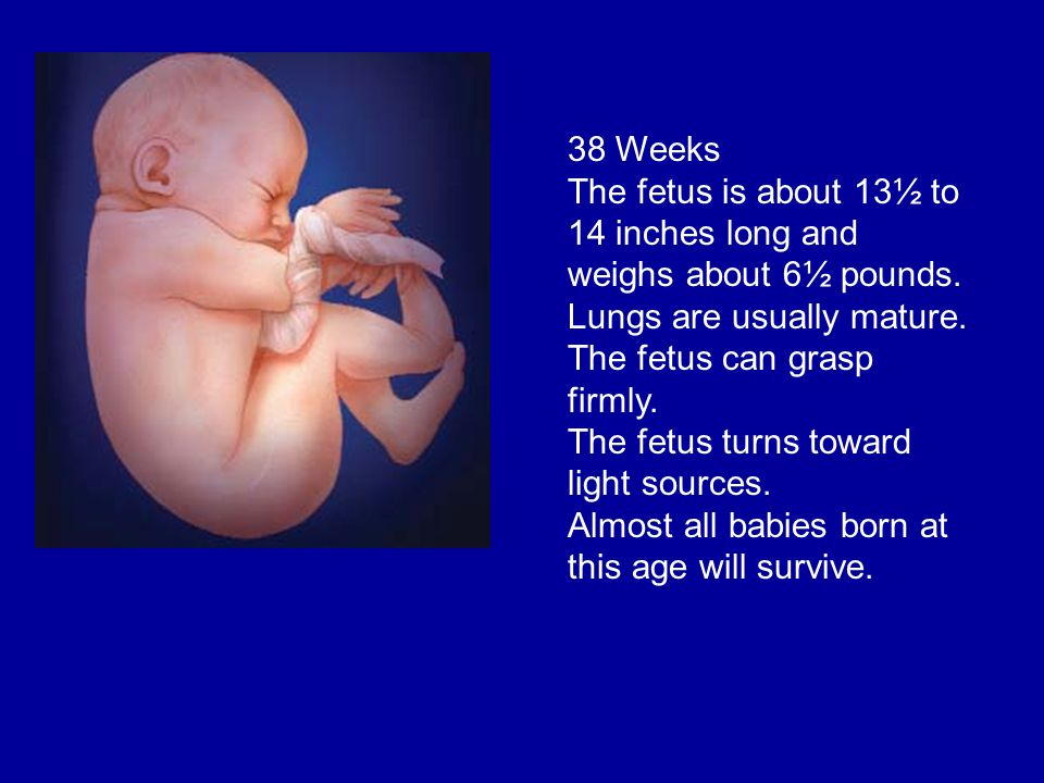 The fetus is about 13½ to 14 inches long and weighs about 6½ pounds.