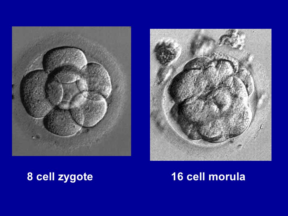 8 cell zygote 16 cell morula