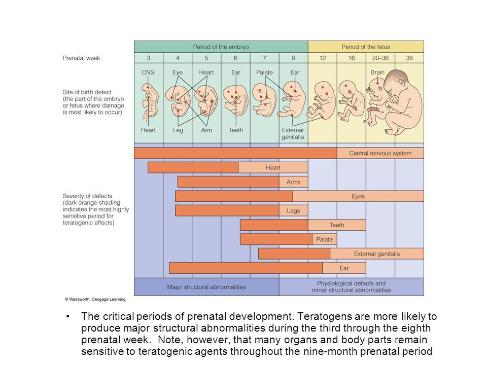 The critical periods of prenatal development