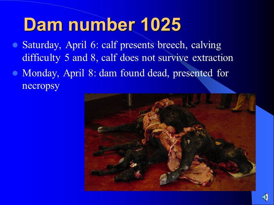 Dam number 1025 Saturday, April 6: calf presents breech, calving difficulty 5 and 8, calf does not survive extraction.