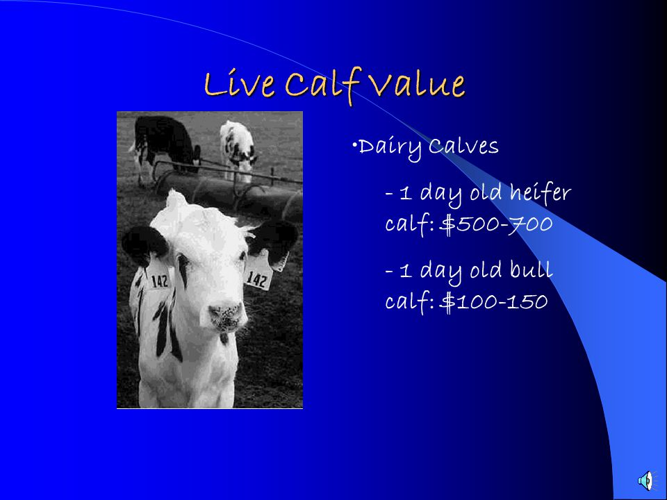 Live Calf Value Dairy Calves - 1 day old heifer calf: $500-700