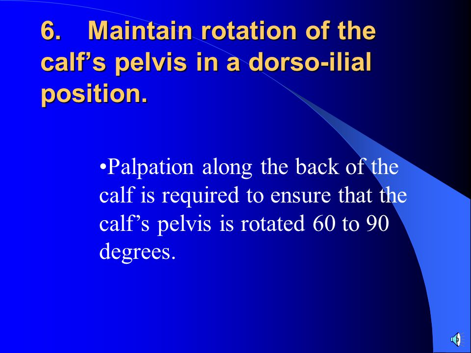 6. Maintain rotation of the calf's pelvis in a dorso-ilial position.